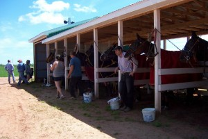 New ship-in barn at O'Leary